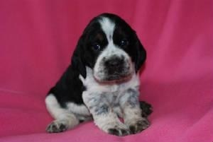 A Picture the Breeder Took of Maisy